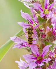 _MG_0024 Hover Fly (Episyrphus balteatus) on Purple Loosestrife (Lythrum salicaria), Brandon marsh, Warwickshire 12Jul11 (Lathers) Tags: brandon warwickshire hoverfly episyrphusbalteatus nbw canonef300mmf4lisusm brandonmarsh canon7d wildinthemidlands wkwt 12july11