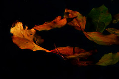 Ciranda das folhas (Eduardo Amorim) Tags: autumn brazil hoja folhas southamerica water field leaves foglie hojas leaf agua wasser campo otoo pelotas folha blatt acqua bltter riograndedosul outono champ feuilles foglio feuille brsil amricadosul gua amriquedusud sudamrica suramrica amricadelsur sdamerika autumne costadoce americadelsud americameridionale auffangen eduardoamorim iayayam yanaiay