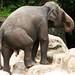 Os elefantes asiaticos