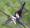 Fast Food (Andrew Haynes Wildlife Images) Tags: nature coventry swallow warwickshire brandonmarsh ajh2008