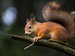 Even forests can become old (TomiTapio) Tags: feet face helsinki eyes squirrel toes iso400 fingers ears whiskers orava paws claws écureuil upatree sciurusvulgaris sqrl eartufts eurasianredsquirrel kurre pihlajisto canonef70210mmf4 selectedareasharpening