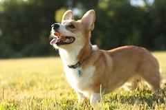 [Free Image] Animals, Mammalia, Dog, Pembroke Welsh Corgi, 201107151700