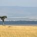 Savana classica do Maasai Mara