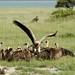 Por baixo dos abutres, restos de uma zebra