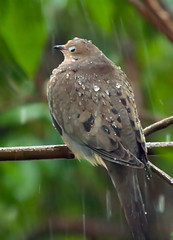 Pouring Rain (wisely-chosen) Tags: wild bird rain branches july perched mourningdove cameraraw 2011 canonef70300mmf456isusmlens adobephotoshopcs5extended