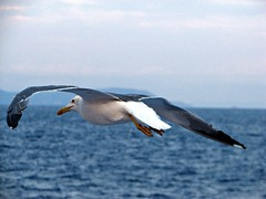 Volando con lui (Il cantore) Tags: blue sea evening fly wings mare ali backside seagul sera dietro volare gabbiamo 15challengeswinner canoniani azzurroi