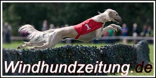 Europameisterschaft 2011 - Coursing - Oirschot - Eindhoven 2011 - Saluki