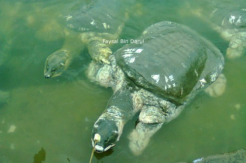 black soft-shell turtle  2