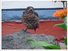 Blackbird landing! (2)