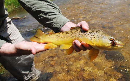 Powder River Brown Trout