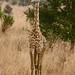 Ota girafa!
