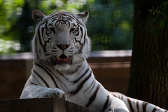 Witte tijger (Mart Mijmering) Tags: animal zoo tiger tijger dier whitetiger ouwehands dierentuin wittetijger