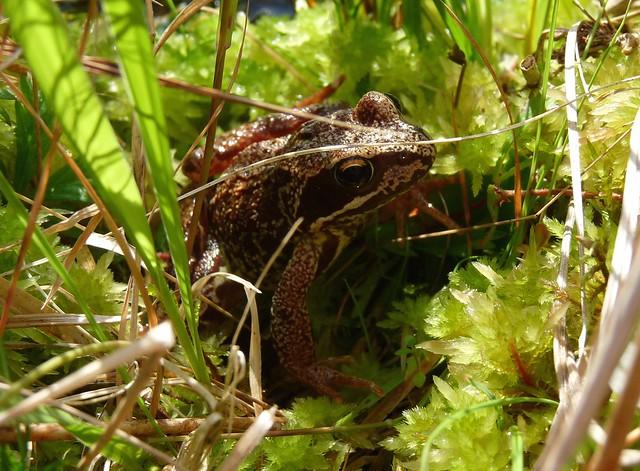 24585 - Frog, Isle of Mull