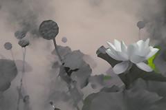 Lotus Flower - IMG_0391-1-1000-as (Bahman Farzad) Tags: flower macro yoga peace lotus relaxing peaceful meditation therapy lotusflower lotuspetal lotuspetals lotusflowerpetals lotusflowerpetal