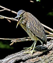 Oasi di Torrile, Parma (renzodionigi) Tags: nature birds natura uccelli insetti natureselegantshots