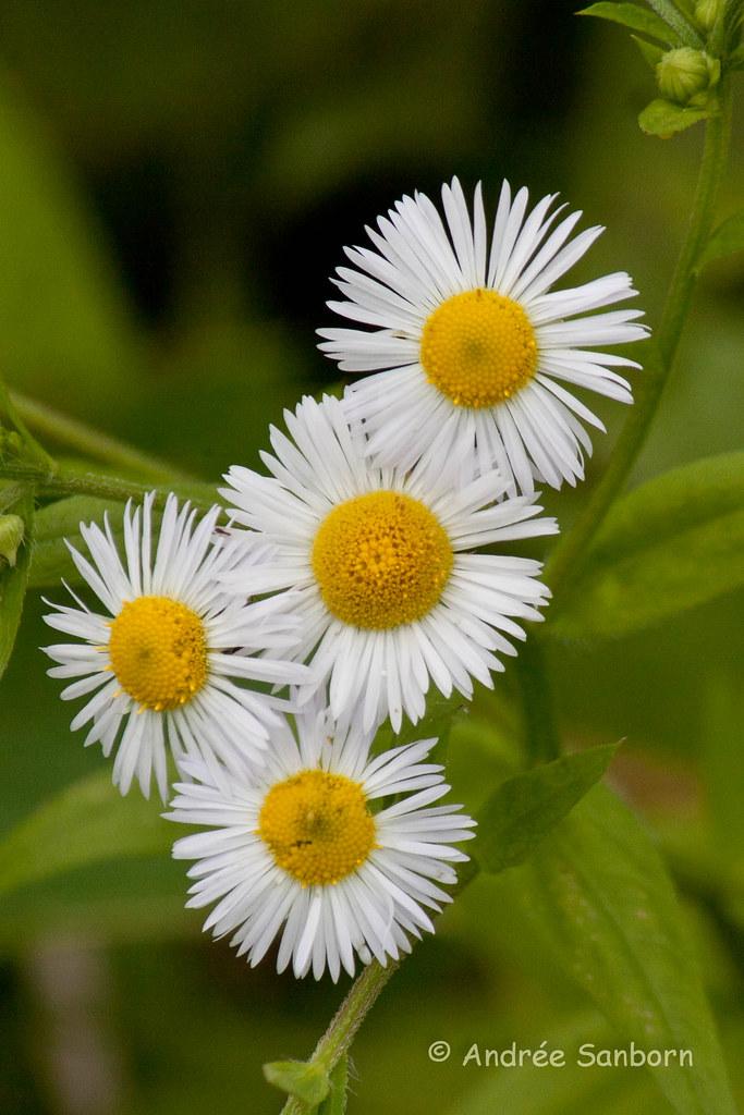 Daisy Fleabane (Erigeron annuus)-6.jpg