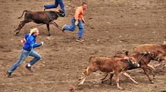 no reasonable offer // refused (Matt Jalbert) Tags: california animals cowboys cattle salinas rodeo wildkingdom salinasrodeo