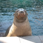"Sea Lion <a style=""margin-left:10px; font-size:0.8em;"" href=""http://www.flickr.com/photos/14315427@N00/5981794126/"" target=""_blank"">@flickr</a>"