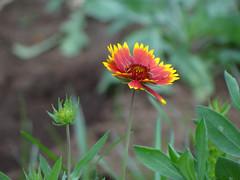 Ggaillardia (ddsnet) Tags: plant flower sony taiwan cybershot   taoyuan  blooming   shee  oasis tasheebloomingoasis ta hx100v