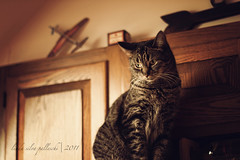 the oonster on her refrigerator perch (sidemtess | linda) Tags: beauty cat pose 50mm kitten chat raw tabby gato manual 50mmf14 tawny oona thelittledoglaughed sidemtess oonaboona oonahonorapalleschi