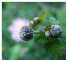 Buds (leo.roos) Tags: ranunculaceae anemoon anemone knop buds nex nex5 czj zeiss jena flektogon flektogon204 exakta bokeh carlzeissjenaflektogon204 zebra darosa leoroos
