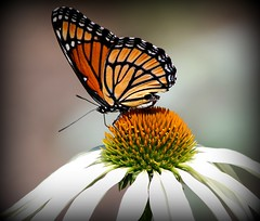 Monarch Butterfly on white cone flower (will Joudrey) Tags: white flower butterfly cone assiniboineparkenglishgardenswinnipeg