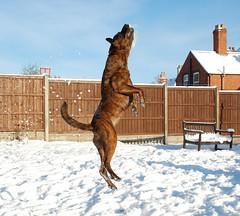 The Ginger Ninja! (Ninja Dog - ) Tags: snow dogs animals nikon 2009 rescuedogs d80 thegingerninja staffiex