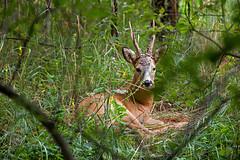 Rdjursfamiljen / Roe Deer Family (PiaLiz) Tags: roedeer rdjur rbock