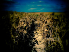 Into the Wheat (CamMonkeh) Tags: road blue cambridge light shadow summer sky sun field landscape corn skies roman farm wheat farming ears dyke footpath pathway lightroom ep1 17mm olumpus fleam