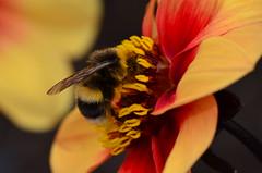 Bee Throne (Troy.P) Tags: plants flower macro nature insect bokeh wildlife bee nikkor 105mm nikkor105mm oxfordbotanicalgardens d5100
