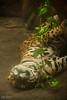 Una vueltica (Isabel Orjuela / absolutaMente) Tags: naturaleza cats colombia meta colores felinos pumas animales villavicencio fotografíadigital llanosorientales isabelorjuela zoologicoocarros