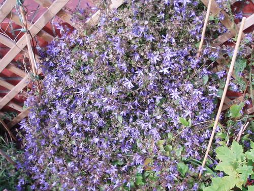 Purple climbing plant