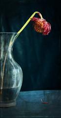Droop (Debs1968) Tags: stilllife texture gerbera vase sigma1770mmf2845