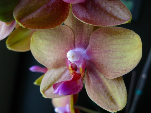 blooming phalaenopsis orchids 005