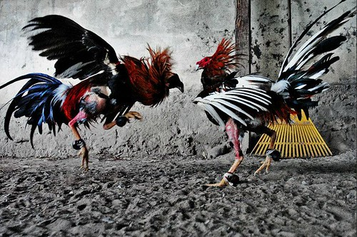 cockfight