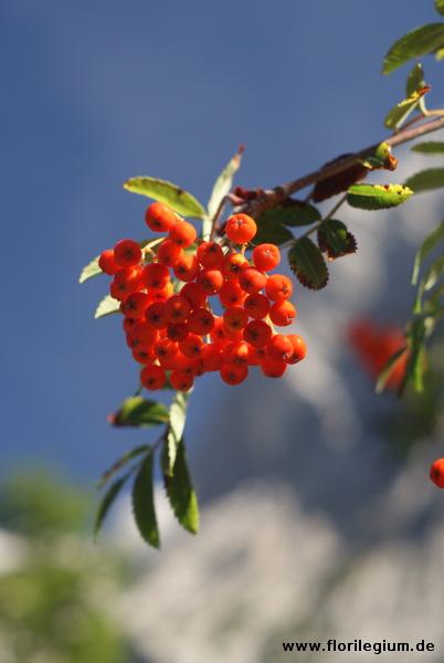 Eberesche, Vogelbeere (Sorbus)