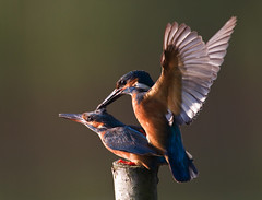 Common Kingfisher mating near its nest @ sunrise, Netherlands. - Richard Verroen