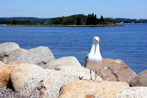impatient seagull