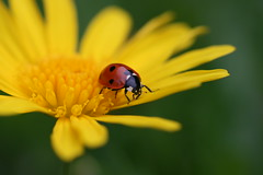 Coccinelle (Pab2944) Tags: niceshot wow1 doubleniceshot