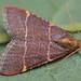 Orthopygia Gluacinalis Moth