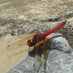 Red dragonfly (digital zoom)