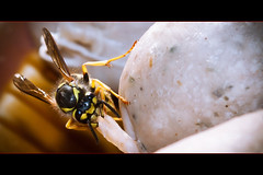 wasp like barbecue (Stefan Lorse) Tags: summer sun detail macro nature germany garden insect deutschland wasp sommer saxony sausage barbecue sachsen wurst sonne garten grillen nahaufnahme wespe canoneos50d sigma2470mmf28dgexmacro