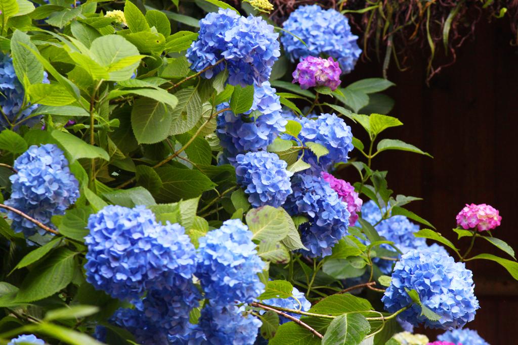 Kita Kamakura Hydrangea spot (7)