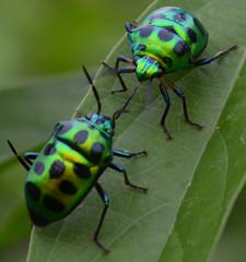 Kiss of the Green Jewel Bug (anindya55) Tags: macro nature rural insect nikon kiss wildlife ngc beetle npc monsoon bengal sankar anindya scutelleridae lampromicra chrysocorisstolli d5100 mygearandme mygearandmepremium