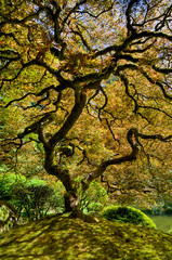 That Tree (bruce...) Tags: oregon portland other maple portlandjapanesegarden hdr cutleaf thattree tokina1116mmf28 atx116prodx portlandjapanesegardenportlandor