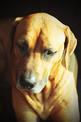 Scooby (Simon-Foster) Tags: dog pet pets dogs animals canon 50mm colours 7d ridgeback scooby colourfull eos7d