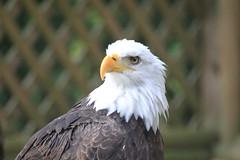 Pacific Northwest Raptor: Eagle Stare