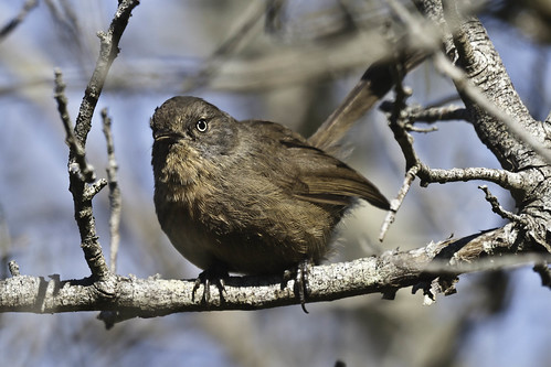 Wrentit - San Bruno Mountain - 2011-07-08D