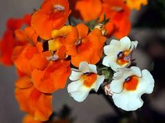 Nemesia (saxonfenken) Tags: orange white flower motif garden bigmomma nemesia gamewinner 6961 agcgwinner storybookwinner pregamewinner 6961flowers