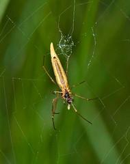 Ariamnes cylindrogaster (?), オナガグモ, Onaga-gumo (aeschylus18917) Tags: danielruyle aeschylus18917 danruyle druyle ダニエルルール ダニエル ルール japan 日本 nikon d700 nature macro 105mmf28gvrmicro 105mmf28 nikkor105mmf28gvrmicro spider arachnid web silk araneae arachnida theridiidae ariamnes ariamnescylindrogaster onagagumo オナガグモ saitama saitamaprefecture 埼玉県 hannō 飯能市 クモ 蜘蛛 105mm pxt tetragnathacaudicula トガリアシナガグモ